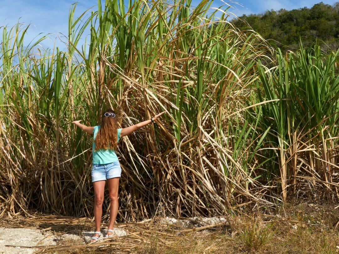 Choubaka dans les champs de canne à sucre